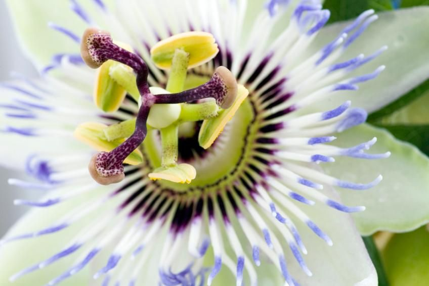 Passion Flower Facts Lovetoknow Ovarian Cyst Gastric Problem Home Remedies Ovarian Cyst Treatment