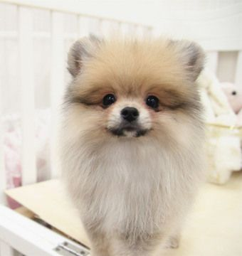 Pomeranian Puppy For Sale In San Jose Ca Adn 52374 On