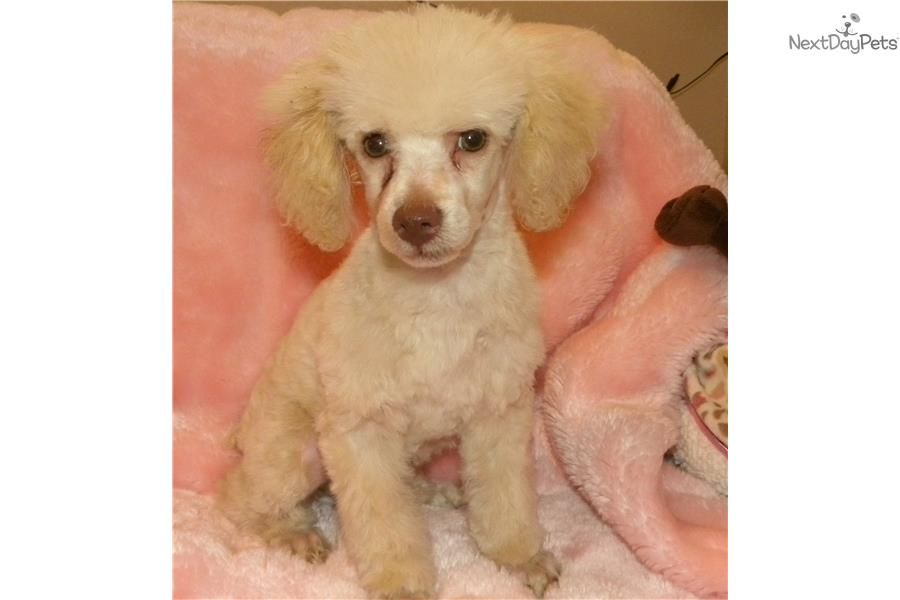 Meet Coco A Cute Poodle Toy Puppy For Sale For 500 Meet Coco
