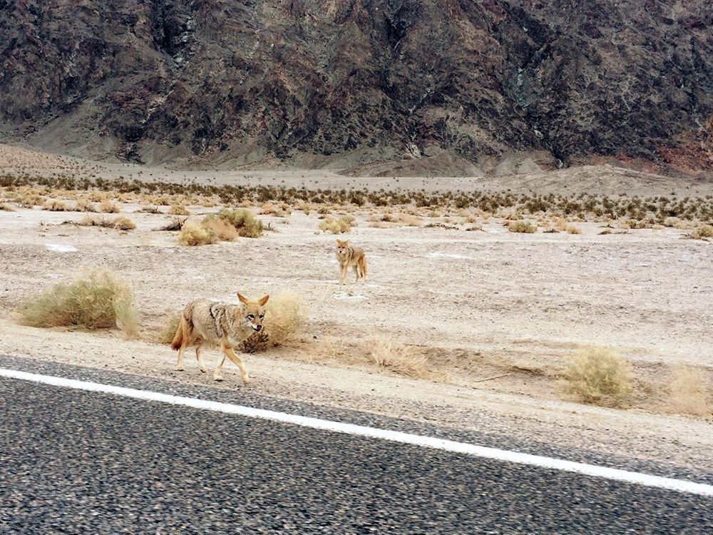 Death Valley Coyotes. Photo provided by Patty Dombovy.