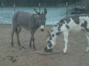 Free donkeys to good home Jenny and her baby jack very