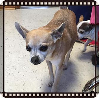 Raleigh Nc Chihuahua Meet Nila A Dog For Adoption Http Www