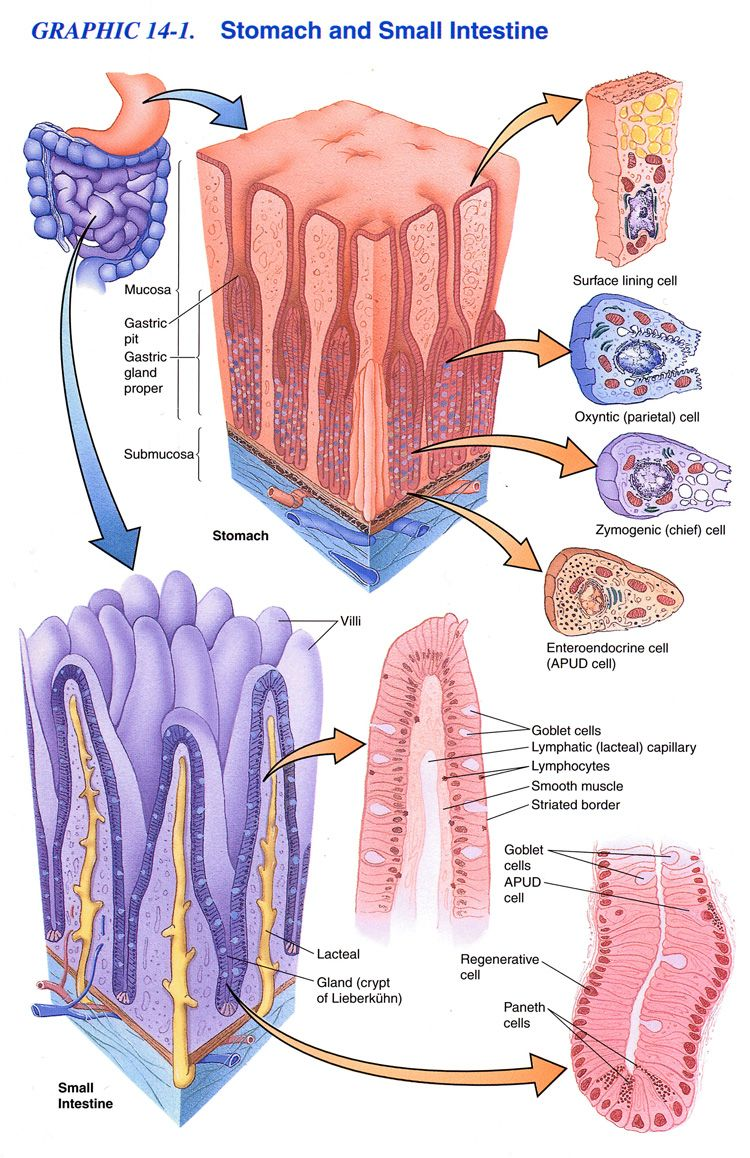 gross and microscopic anatomy of the small intestine - Google Search ...