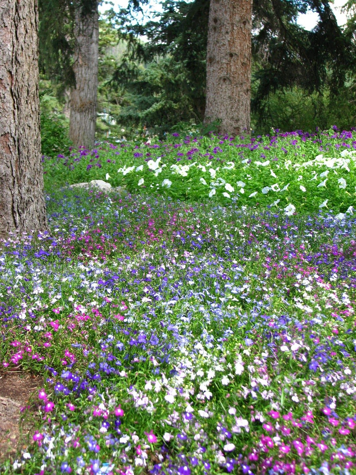 Lobelia used as ground cover plants pinterest ground covering