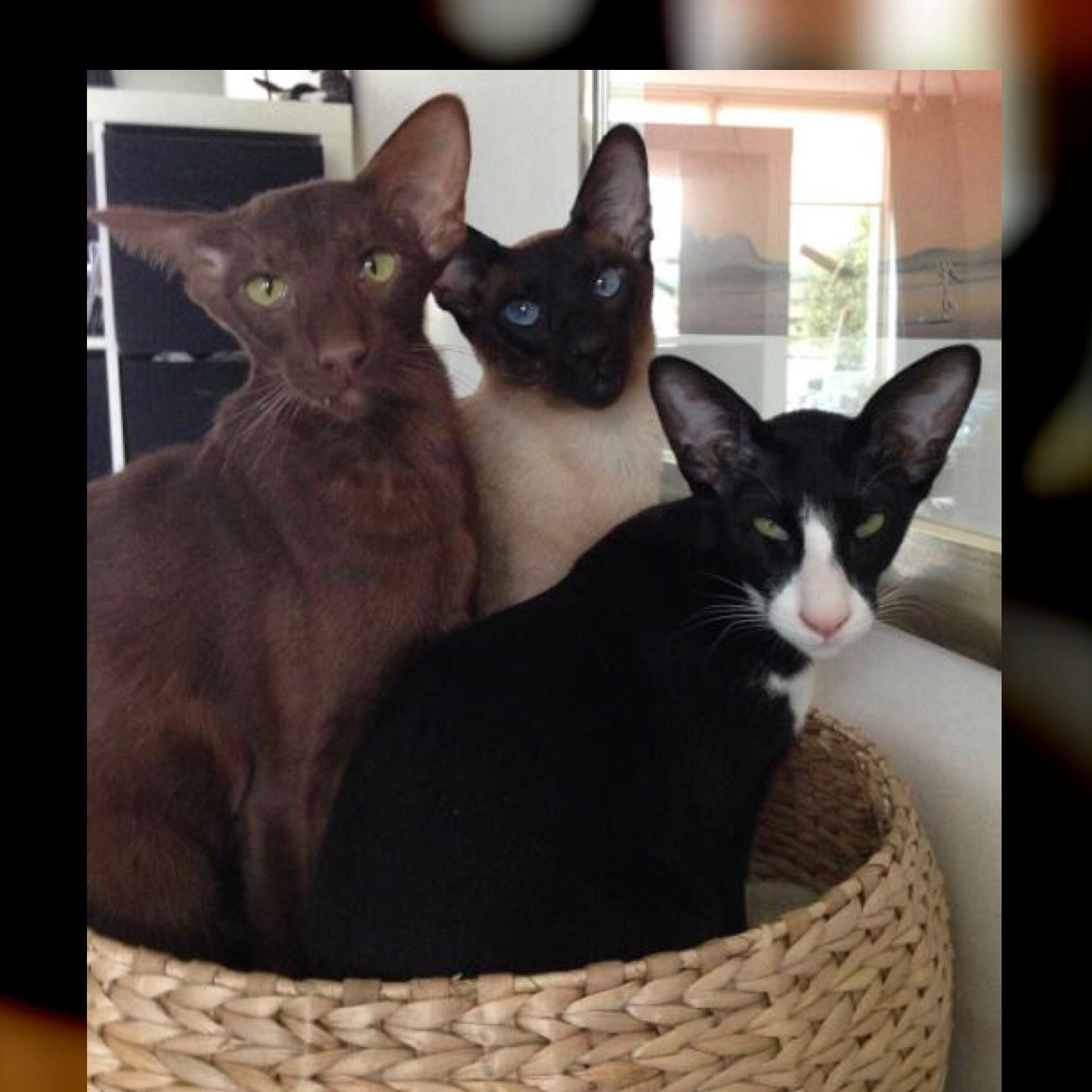 Yes we fit in this basket ! Oriental cats and siamese cat