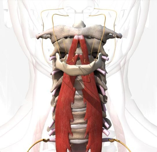Muscle Premium - 3D atlas of musculoskeletal anatomy and ...