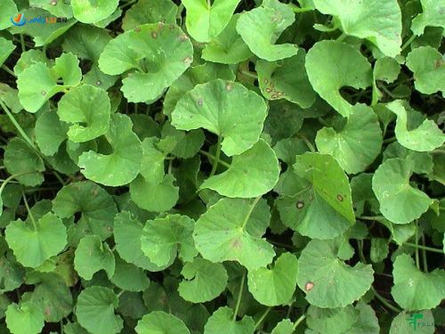 Archive Herbs Casil Marketing Plants Australian Native Plants Edible Wild Plants