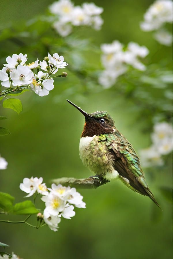Hummingbird With Flowers