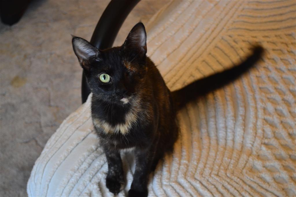 Found Cat - Tortoiseshell - London, ON, Canada N5V 3S5 on July 14, 2014 (13:00 PM)