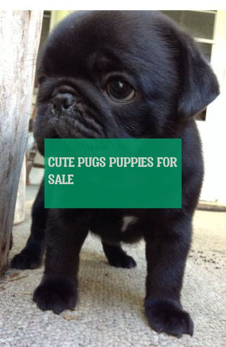Cute Pugs Puppies For Sale Süße Möpse Welpen Zu Verkaufen - Chia Recipes Ideas #cutepugpuppies