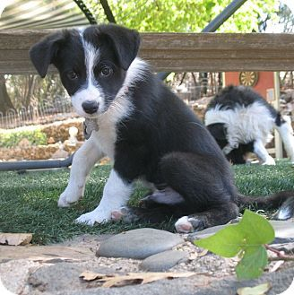 Auburn In Placer County Ca Border Collie Mix Meet Cubby A Puppy For Adoption Http Www Adoptapet Com Pet 13941343 C Puppy Adoption Border Collie Collie