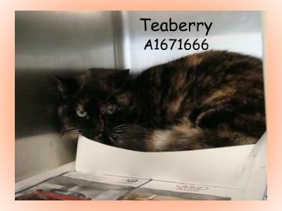 Teaberry Pbcacc Id A1671666 Female Spayed 6 Years 13 Lbs Use Id