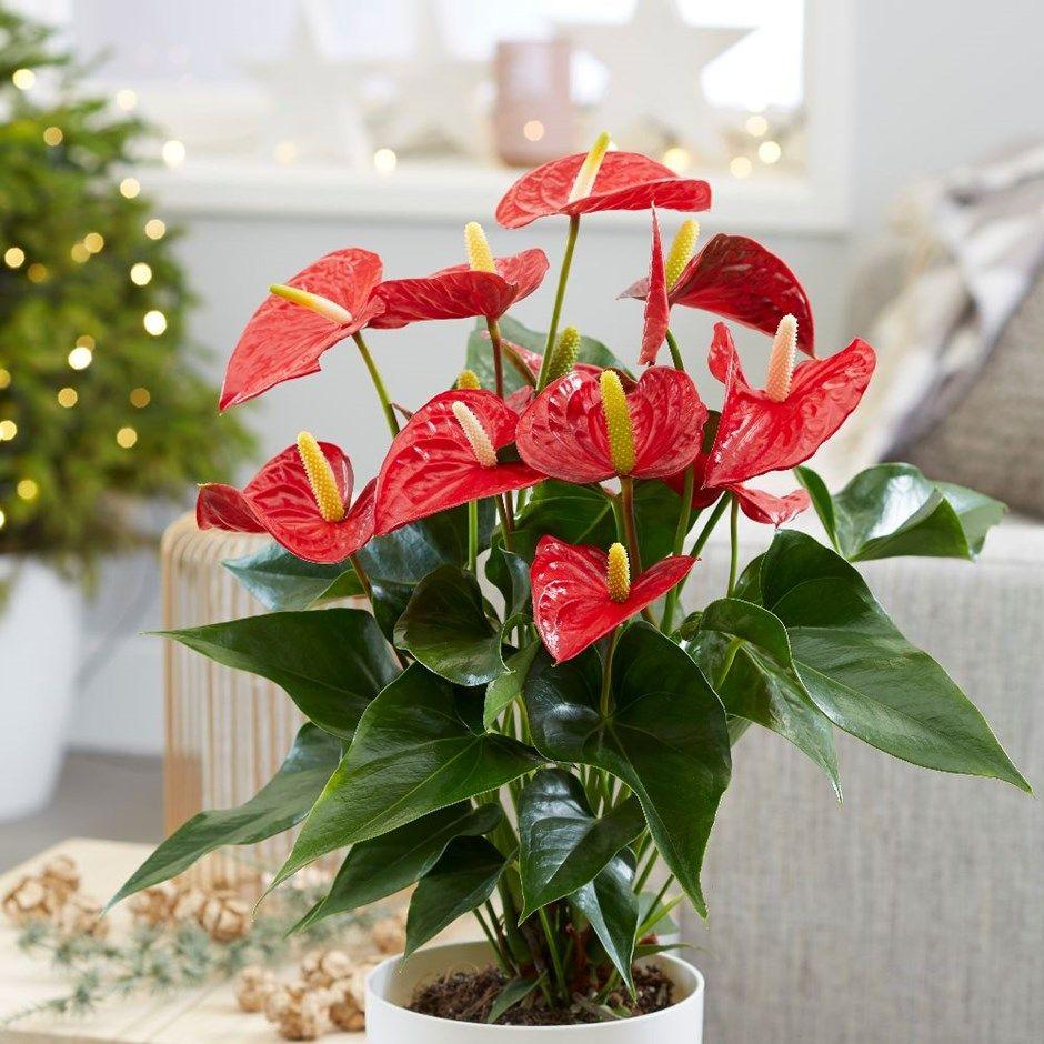 Anthurium Red Champion Anthbnena Pbr Flamingo Flower Plants Flamingo Flower Red Plants