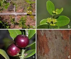 Resultado de imagen para scutia buxifolia