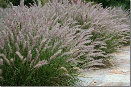 pennisetum alopecuroides  u0026 39 magic u0026 39