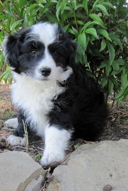 A Bordoodle Extremely Intelligent Cross Between Border Collie English Sheepdog And A Poodle Bordoodle Collie Poodle Mix Border Collie Poodle Mix