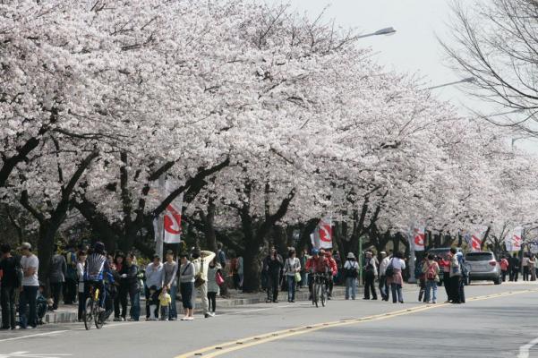 Yeouido Spring Flower Festival In Seoul Korea Southkorea South Korea South Korea Seoul Beautiful Places Cherry Blossom Korea Travel South Korea Korea