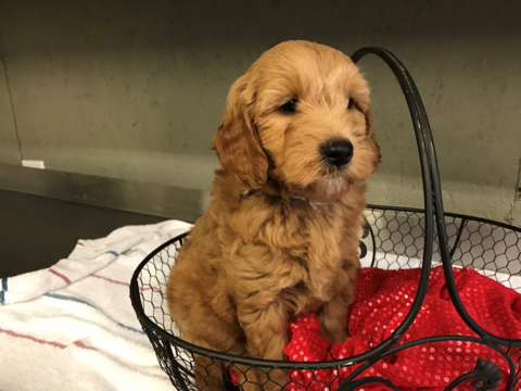 Goldendoodle Poodle Miniature Mix Puppy For Sale In Austin