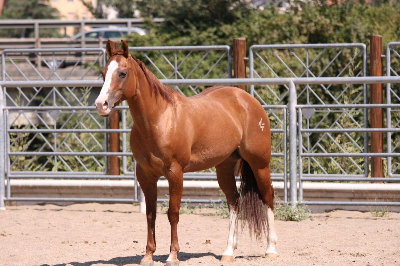 ML GREAT BRIDGET  QUARTER HORSE  AHC STABLE