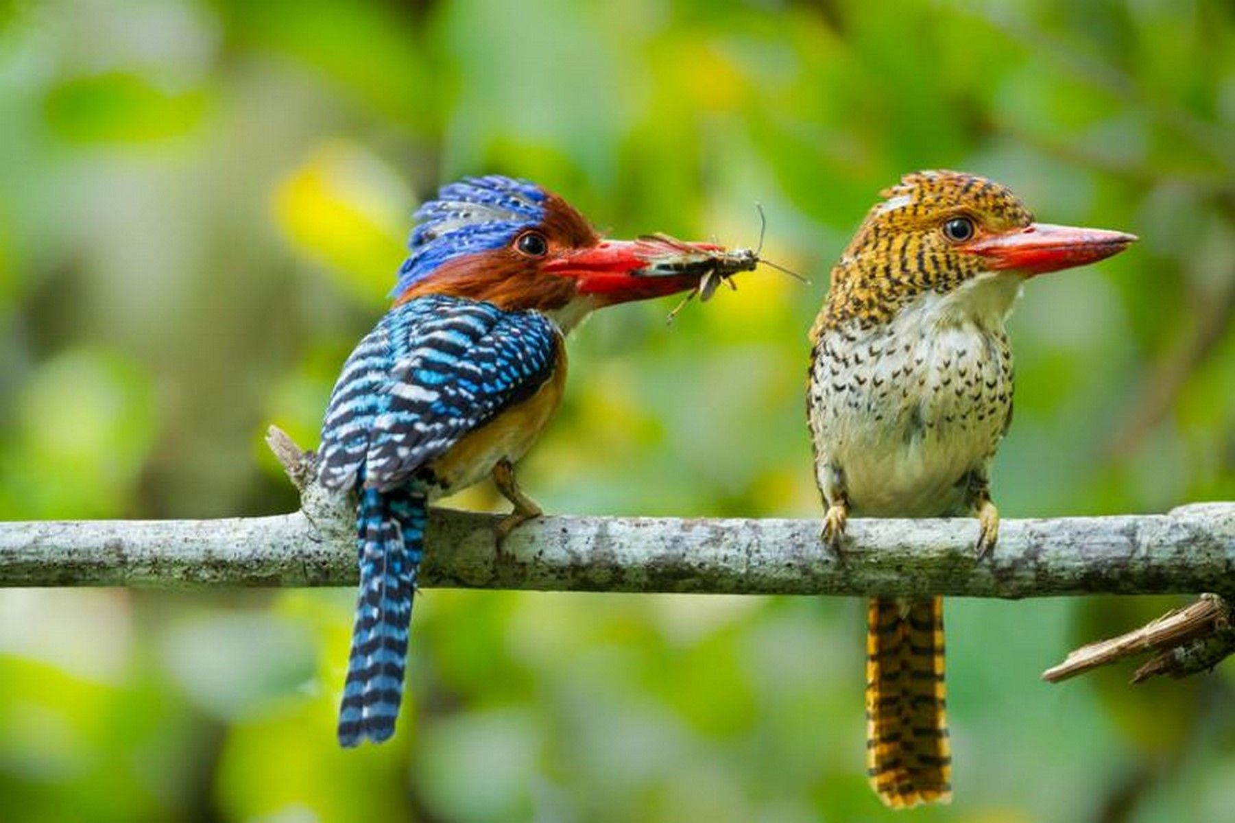 Banded Kingfisher A Pair En