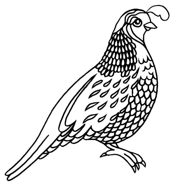 Quail Coloring Pages For Preschool Preschool And Kindergarten