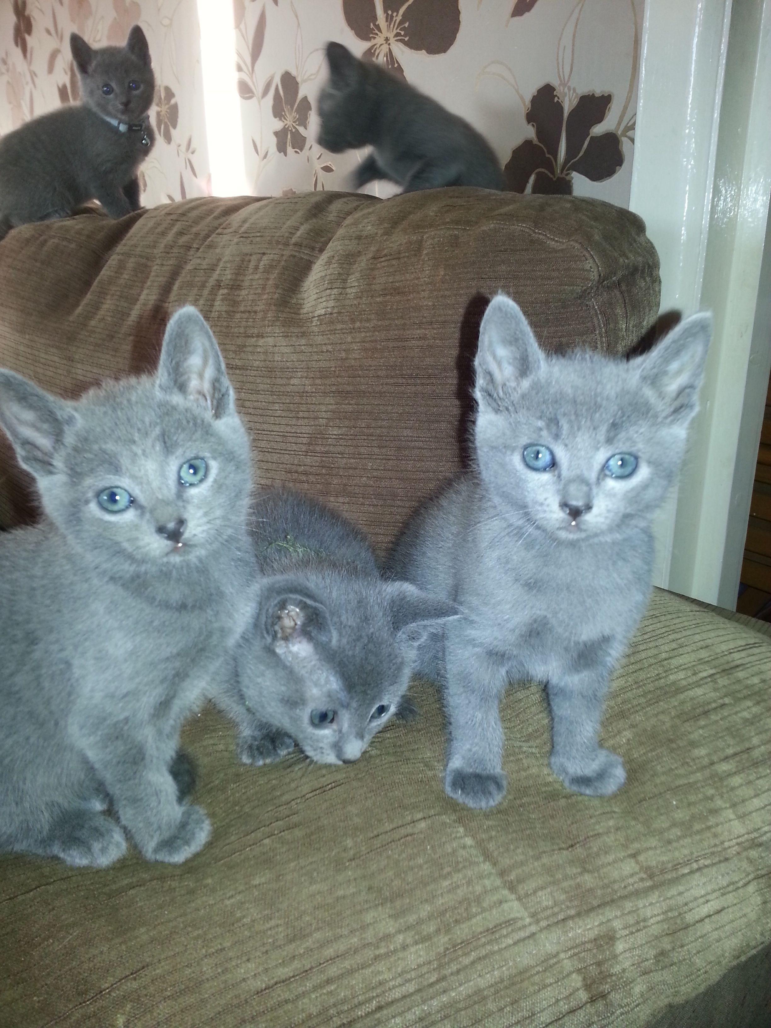 Regal Russians Betty Aged Seven Weeks Our New Russian Blue Kitten Coming Soon Russian Blue Russian Blue Kitten Crazy Cats