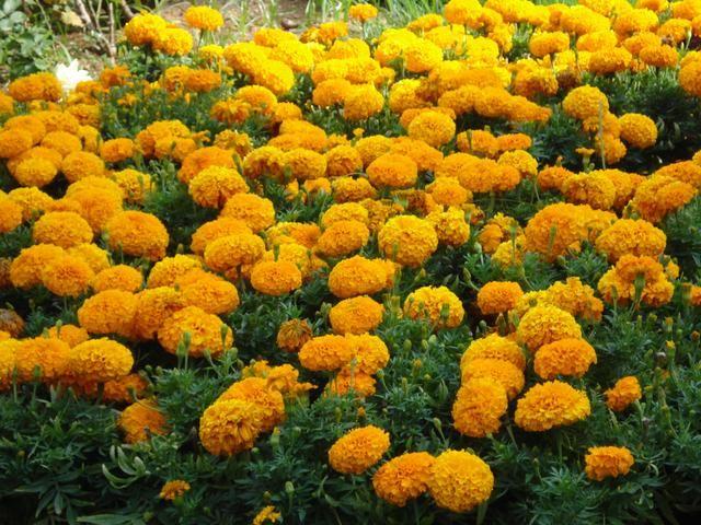 Sebenarnya Bunga Ini Namanya Apa Sih Sejak Kecil Aku Taunya Bunga Tahi Ayam Plants Flowers Marigold