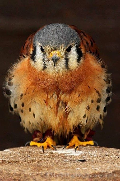 Baby Falcon. Look at this adorable puff ball!