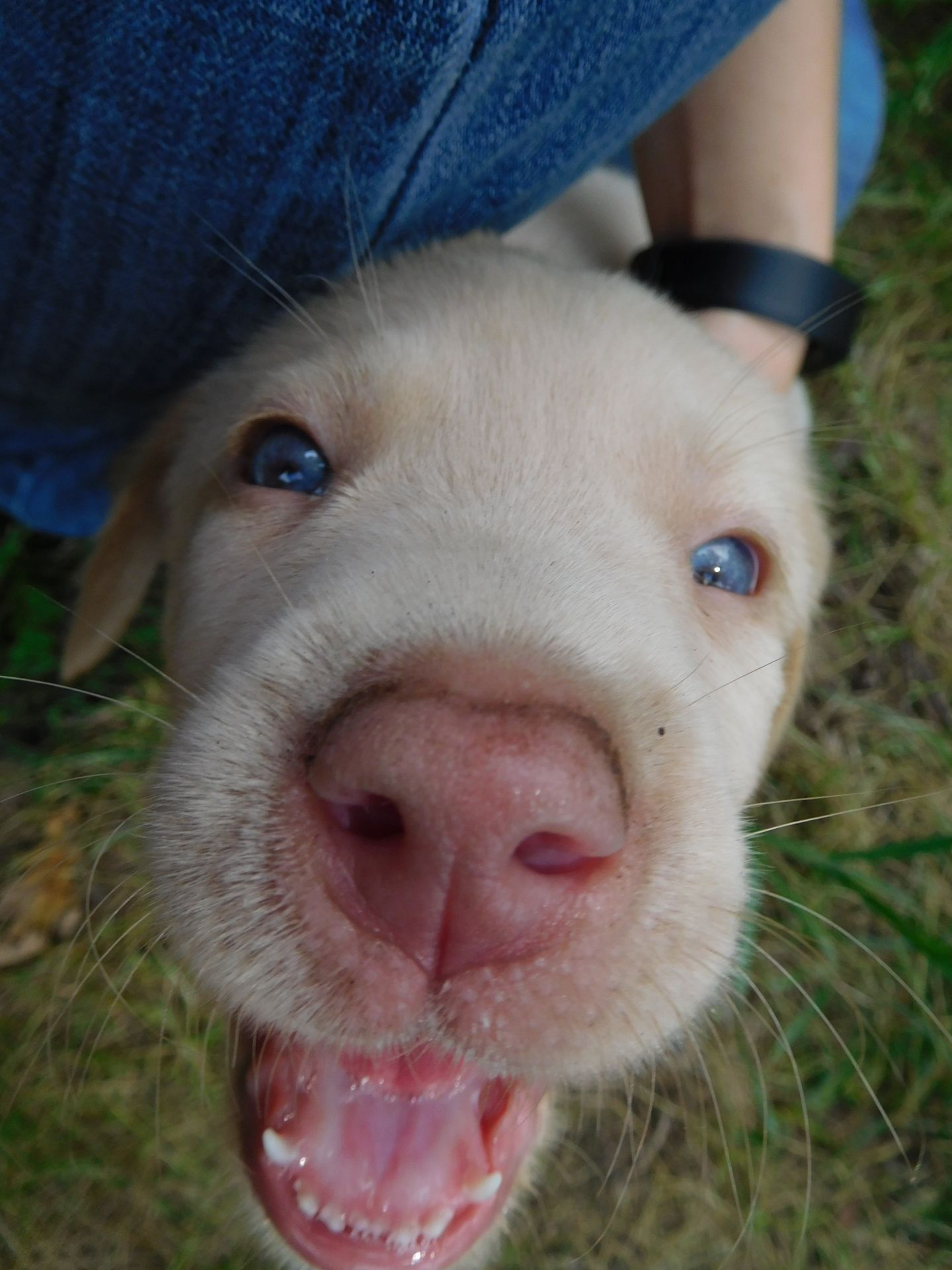 Meet Our Puppies Silver Labrador Puppies For Sale Puppies Labrador Puppy