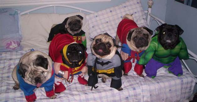 Pugoween Pugs In Costume Dog Costumes Pugs