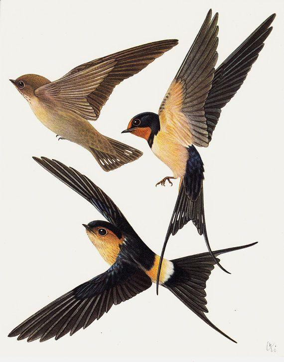 1960s BIRD original vintage birds print, passerine species ...