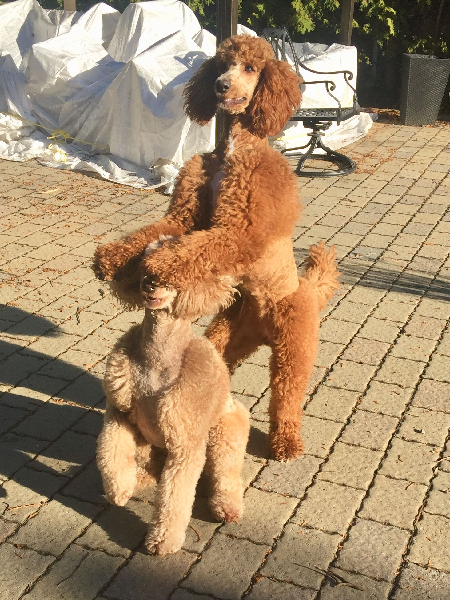 Poodles Smart Active And Proud Poodle Puppy Cute Dogs Pretty