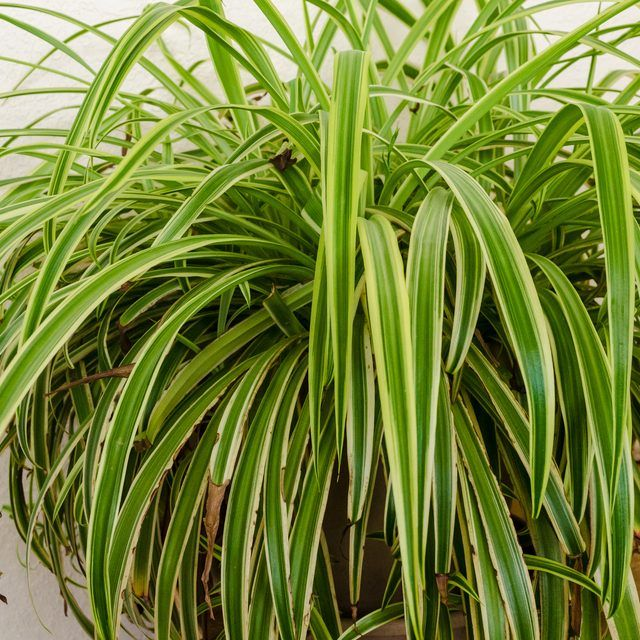 Spiderplant Care: How To Transplant Spider Plant Cuttings