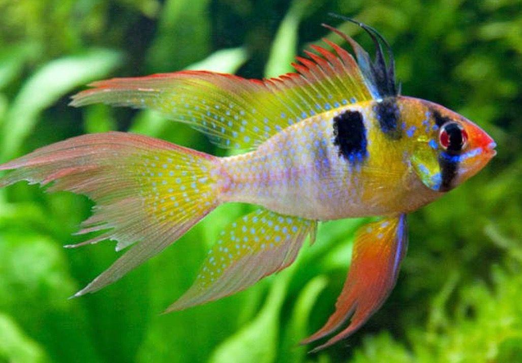 Long Fin German Blue Ram Aquarium Fish Cichlids Cichlid Fish