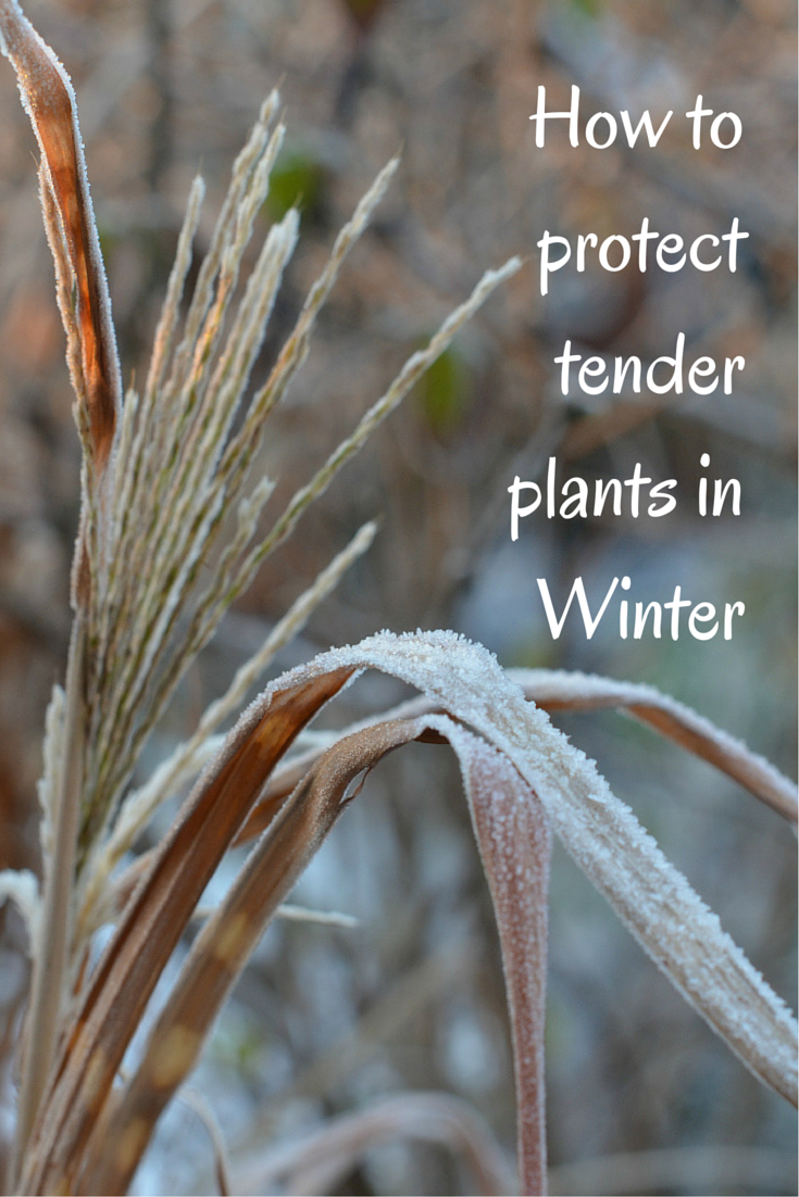 winter gardening how to protect tender plants winter months