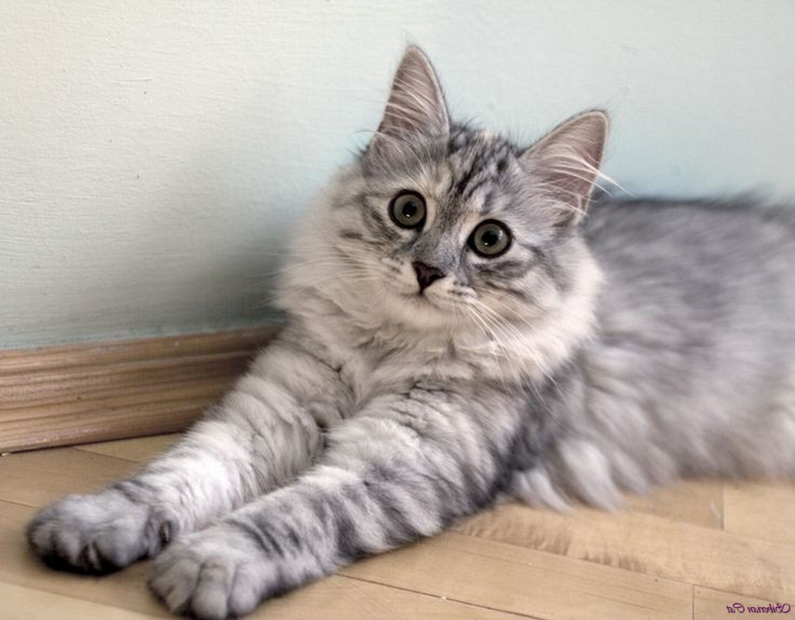 grey siberian cat black and white siberian cat silver tabby
