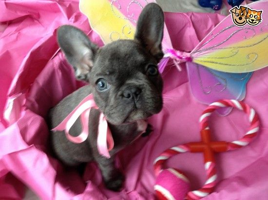 Stunning Blue Male Frenchbulldog French Bulldog French Bulldog