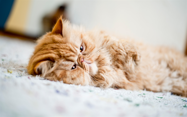 Download Wallpapers Persian Cat Lazy Cat Cute Animals Pets Fluffy Cat 4k Besthqwallpapers Com Chat Paresseux Chat Persan Animaux Mignons