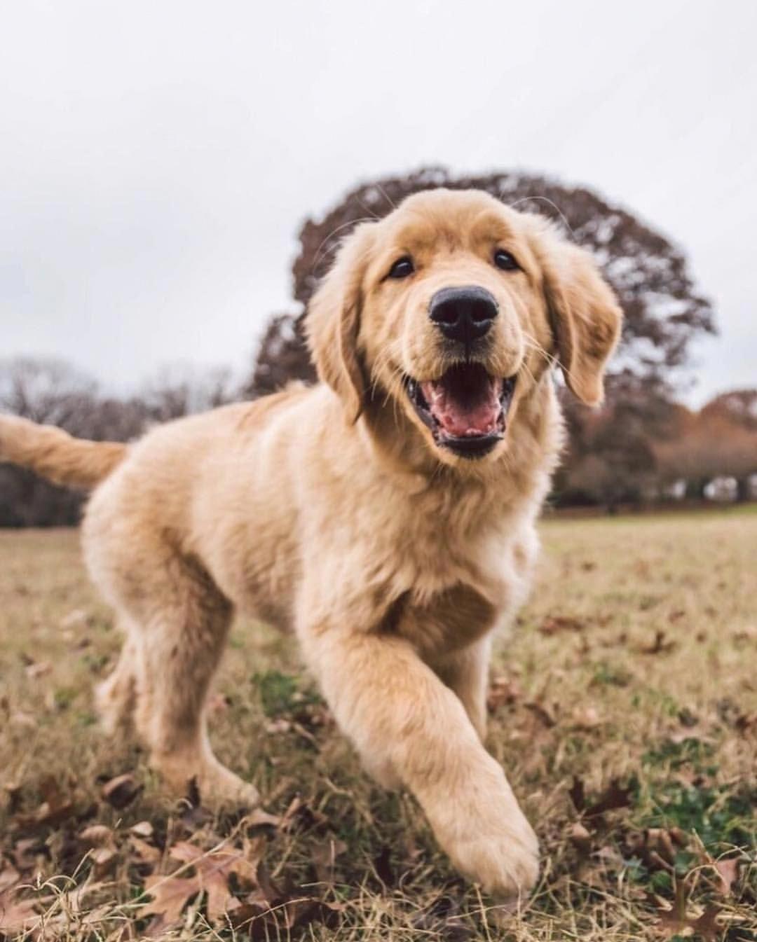 Golden Retriever Puppy Golden Retrievers Dogs Golden Retriever