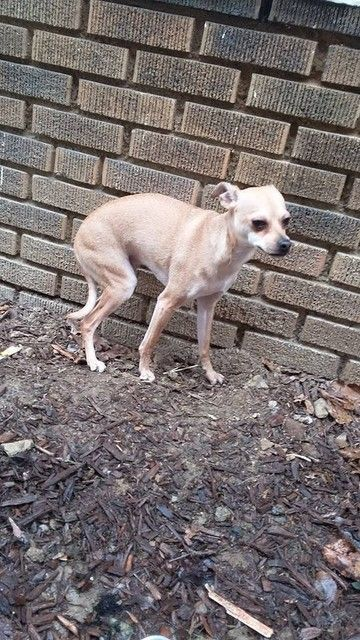 My Name Is Riley I Am A Chihuahua Mix Italian Greyhound Please