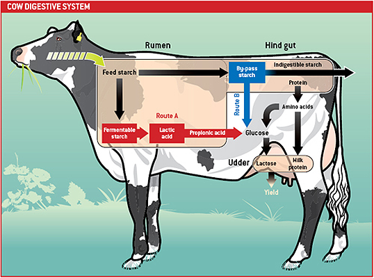 Diagram of cow digestion Cool pic that explains the