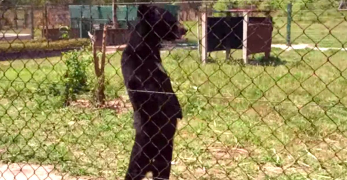 Rescued Bear Caught Strutting Around On Two Feet Like A Human