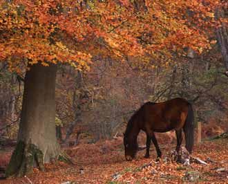New Forest Pony, Hampshire, England.