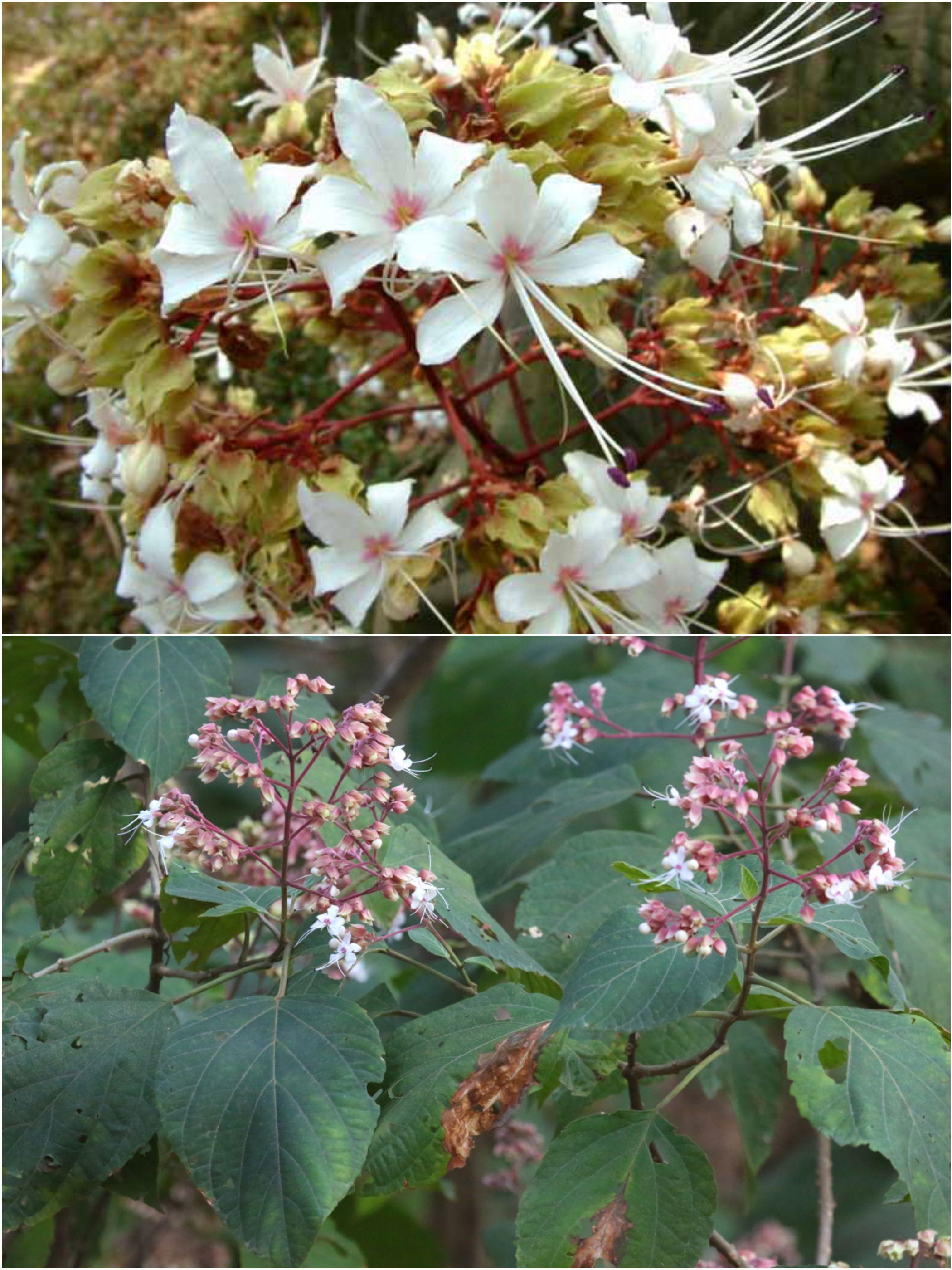 Ghetu Flower ঘ ট ফ ল ভ টফ ল Clerodendrum Infortunatum Flowers Floral Beautiful