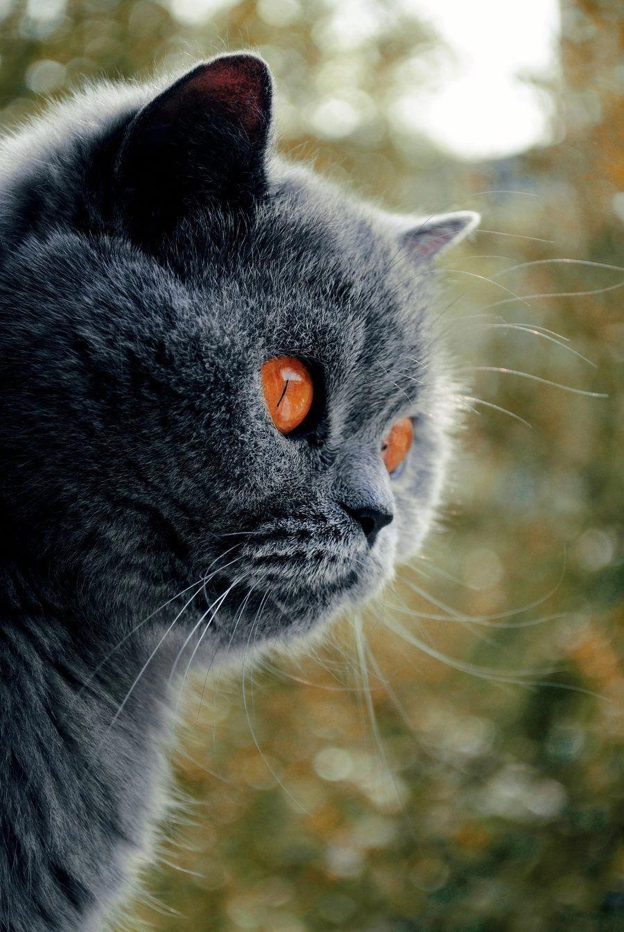 Blue Cat Autumn By Sepraven On Deviantart Greycat Pretty Cats Beautiful Cats Cats