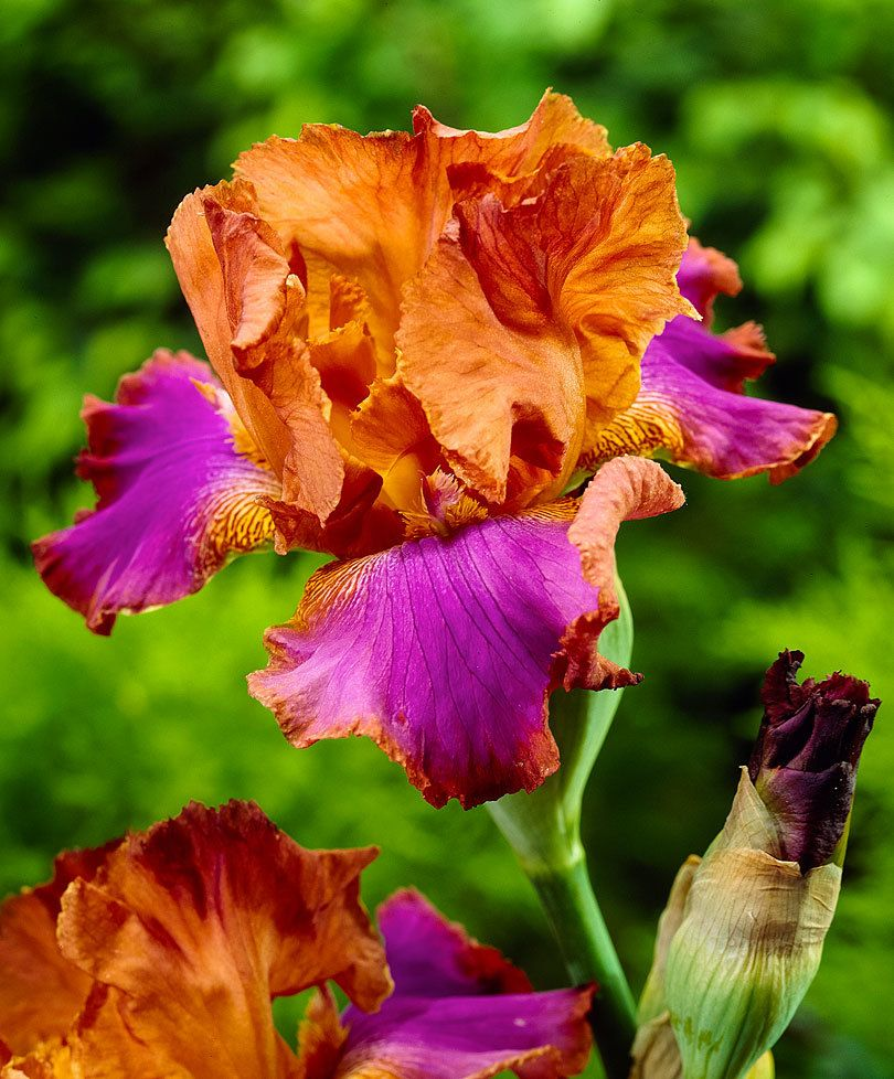 Iris des jardins battle star outdoor planting pinterest iris buy hardy perennials now bearded iris battle star izmirmasajfo