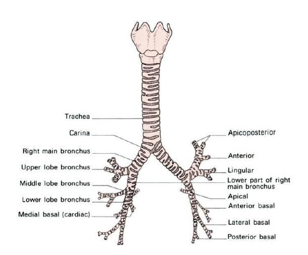 Trachea Anatomy With Carina Anatomy Pinterest Nicu Nursing And