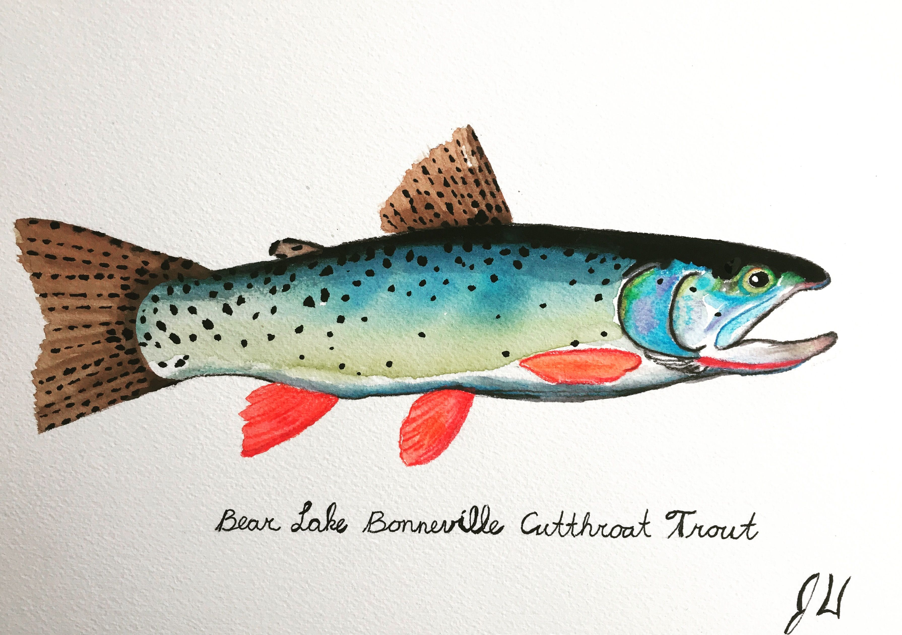 Bear Lake Bonneville Cutthroat Trout Watercolor   Original ...