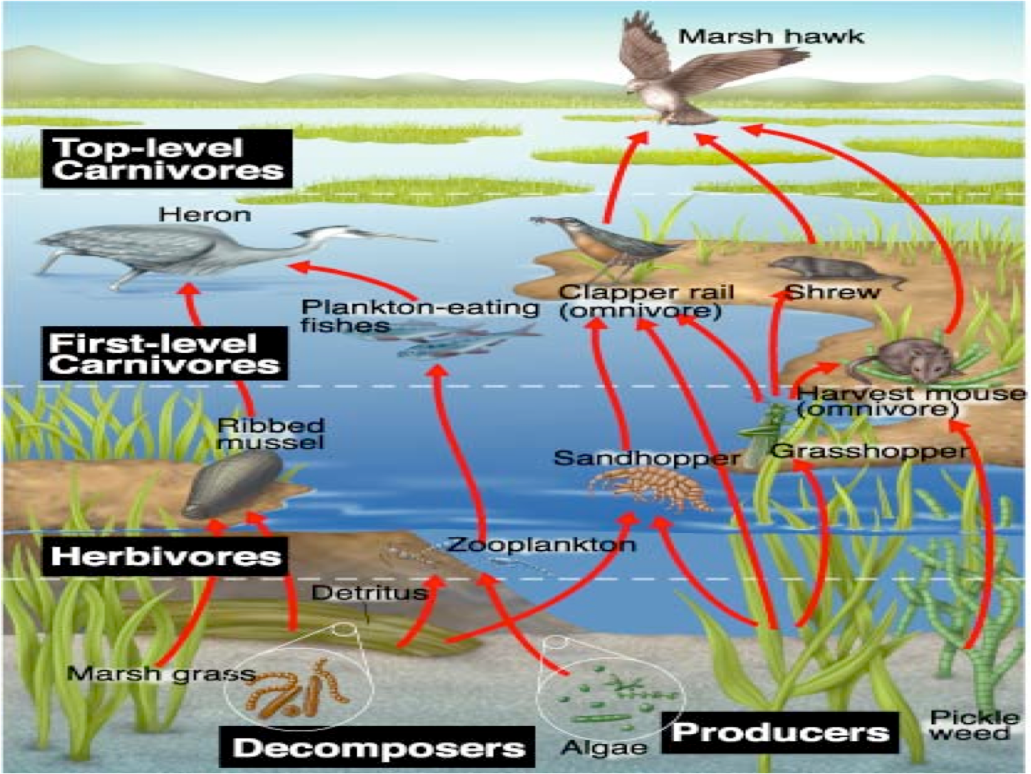 temperate deciduous forest food chain Google Search