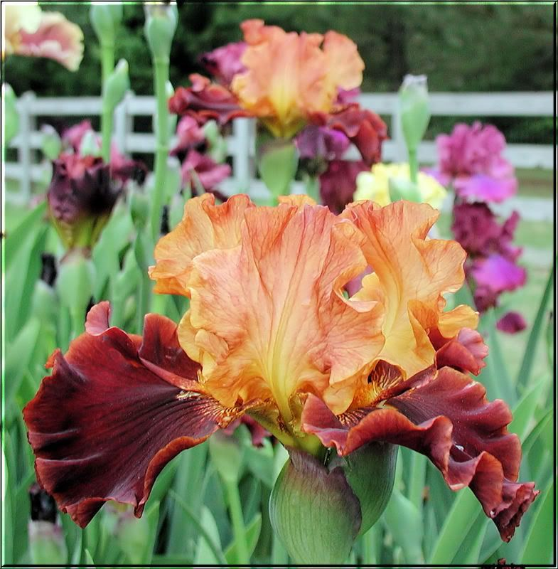 Solar Fire Iris